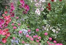Hollyhocks / In this board we share beautiful photos and guides of one of our favorite plants, Hollyhock. If you LOVE Hollyhocks, click follow.