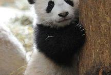 pandácsuk
