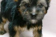 Dolce / Yorkshire Terrier