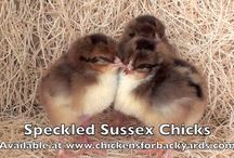 Speckled Sussex