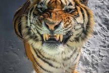 Tiger (My Fav Animal)