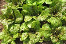 Salad crops / by Sara Venn