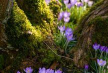 Cibuloviny - květiny