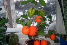 Цитрусы. Комнатные растения