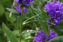 suomen luonnonvaraiset kasvit