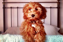 Obsessed with LABRADOODLES ❤❤❤