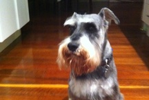 Angus / Love my dog, his got a big personality along with lots of attitude...never boring :-)