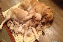 GOLDENS RULE / golden pups, and moms & dads and other animals