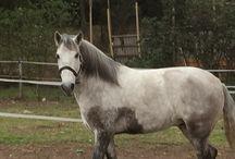 ALICANTE / Dedicado a Alicante un PRE inteligente, hábil y amoroso caballo