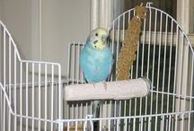 """my parakeet Dean / My Budgie """"Dean"""".  He's my """"little boy""""!"""