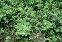 Örökzöldek / Örökzöld növények