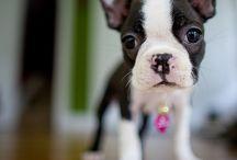 Dog Breeds: Bostons