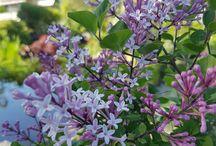 Blomstrende busker