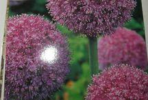 Autumn/ Winter flower bulbs / all type of flower bulbs