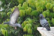 Colors of Pigeons