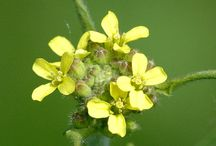 Hedge Mustard (Sisymbrium officinale) / All things related to the medicinal plant Hedge Mustard (Sisymbrium officinale)
