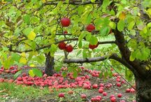 Apples and apple orchards