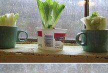 grow old lettuce