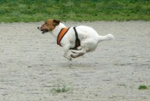 Jack Russell's / by Lisa Dolbert
