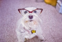 Our Mini Pearl / Rescued white schnauzer who has loads of personality.