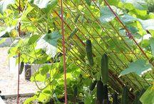 legume gradina