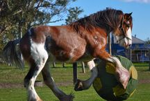 shire & clydesdale