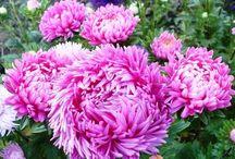 цветы дача