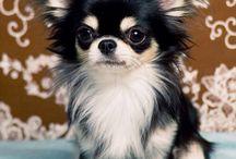Dog Breed: Chihuahua