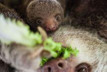 ❤️ Sloths | Faultiere ❤️