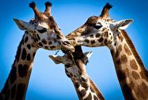 Giraffes / by Kelsey Enloe