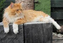 Maine Coon - Red Tabby Mackerel & White / #MaineCoon #Red #Tabby #Mackerel #White #Cats