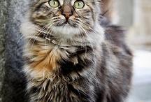 chat à poils long