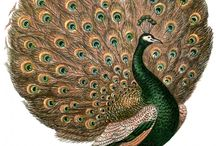 Paon ... Peacock