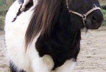 Révisions zootechnie équine - races chevaux, poneys