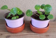 Pannenkoekplant (Pilea Peperomioides)