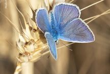 Schmetterlinge Kalender 2016 / Wildbienen Kalender 2016, Wildbiene, Bienen Schutz, Bienenportrait, Mauerbiene, Hummel, Wildbienen helfen, Blühkalender, Pollengehalt, Nektargehalt, Pollen, Nektar, Bienennahrung