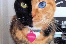 Faced cat
