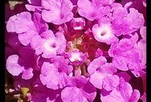 Piante Esotiche / Note botaniche e colturali.