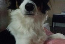 bella / Ma chienne border collie