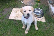 Labrador puppy- Nala