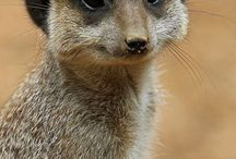 meerkat my dear animal ❤❤