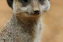 meerkat my dear animal ❤❤