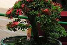 asoka bonsai