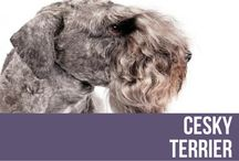 """Cesky Terrier / If the Cesky Terrier (pronounce it """"chess-kee,"""" meaning Czech) looks something like a cross between a Scottie and a Sealyham, it's because that's basically what it is. Ceskys are muscular, short-legged, and handsome hunters standing no taller than 13 inches at the shoulder. They come in several shades of gray, including a stunning platinum. Wavy facial hair gives Ceskys a sporty, Continental look, and the medium-long neck lends a dash of elegance to these game, unspoiled working terriers."""
