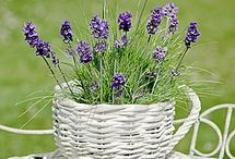 Lavender / Where flowers bloom, so does hope. - Lady Bird Johnson