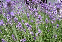 Lawendowo Garden