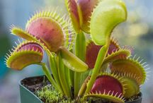 Sawtooth & Shark tooth Venus Flytraps / This board is dedicated to Venus Flytraps (Dionaea Muscipula) with Sawtooth or Shark Tooth Mouths. The Jagged edge found on these flytraps replaces the standard long fingers found on standard venus flytraps.