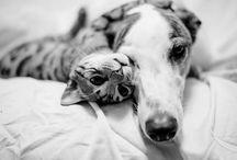 Greyhound Adoption Month / April is Greyhound Adoption Month