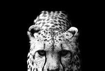 Gepard girl