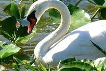 Swan Mood